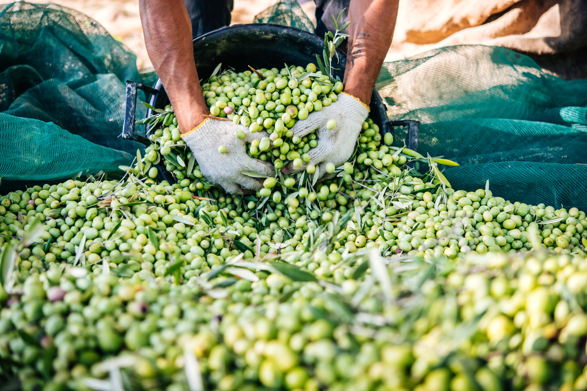 harvesting_olives_expatexplore