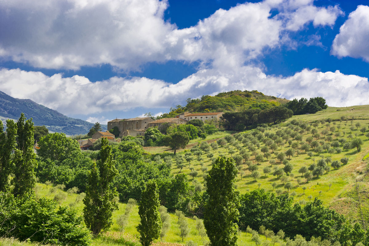 Olive trees in Sicily. Sicilian olive oil and wine is know worldwide