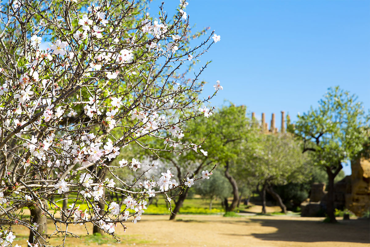 Almond Blossoms in Agrigento, Sicily