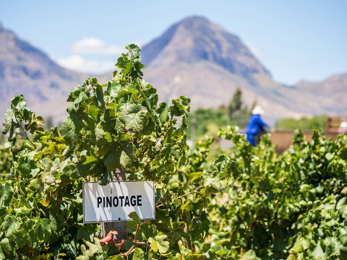 Pinotage is originally from Stellenbosch South Africa