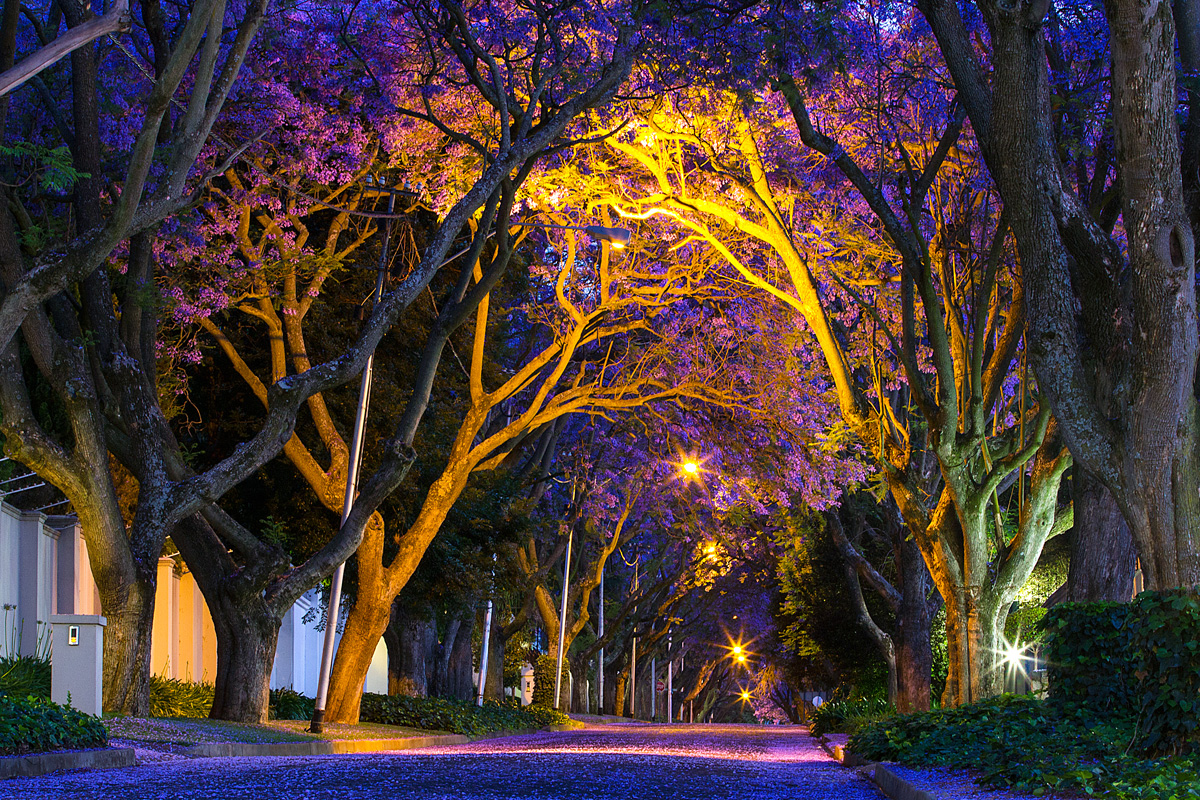 jacaranda-trees-in-bloom-johannesburg-expat-explore