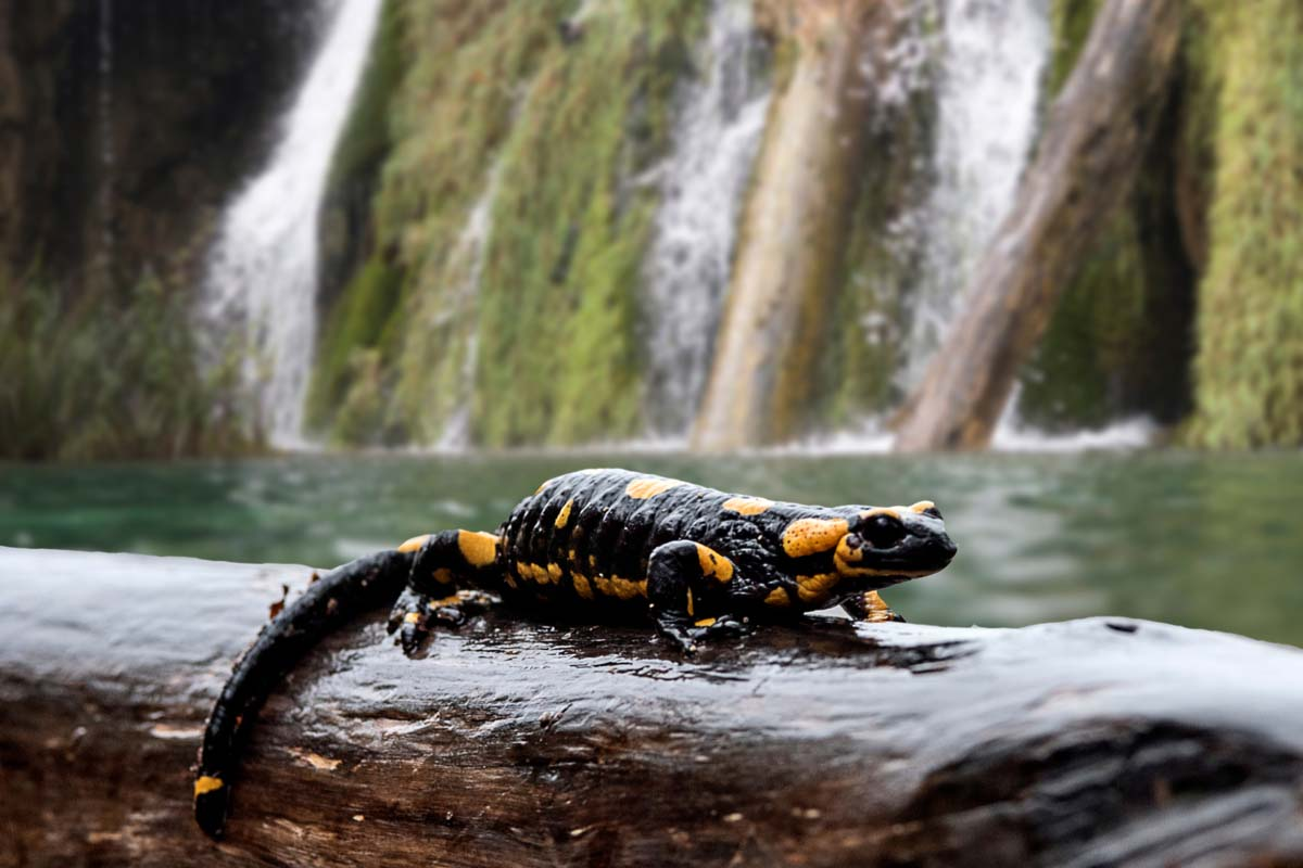 Salamander seen in its natural habitat in Plitvice Lakes, Croatia