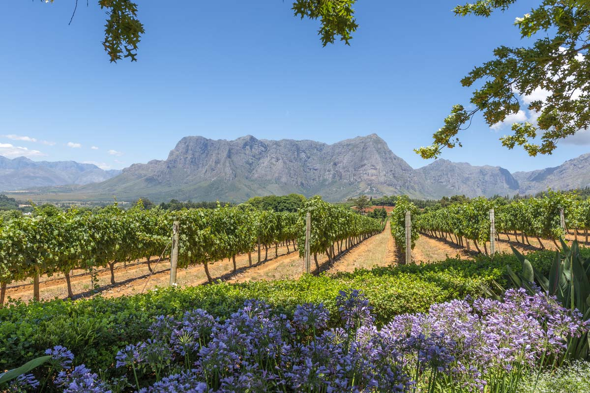 The beautiful winelands overlooking the famous Table Mountain in Cape Town