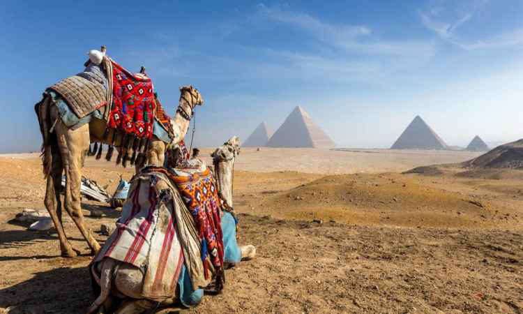 Camels near Pyramids of Giza in Egypt Black Friday