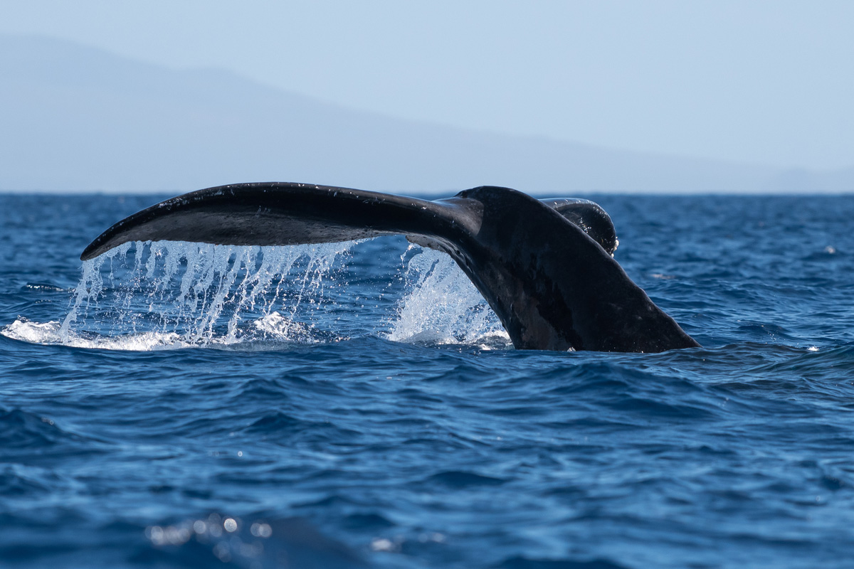 Humpback whale tail fluke. Hawaii, Maui