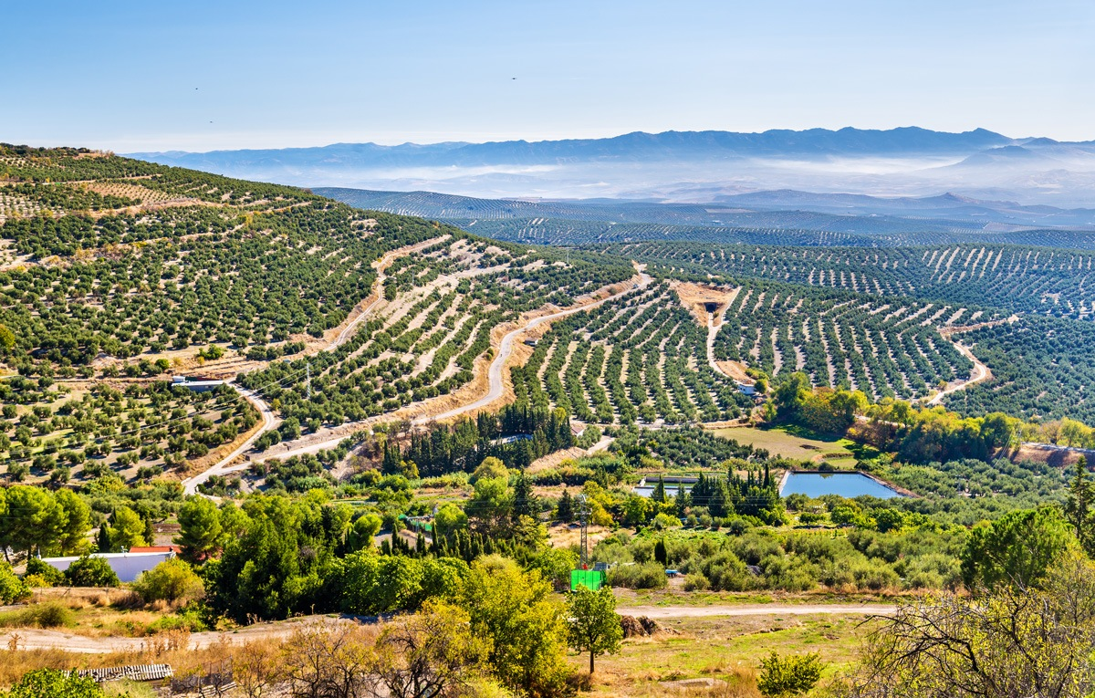 View of olive fields in Spain