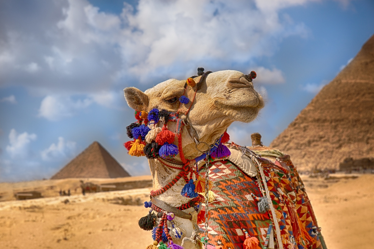 Camel standing in front of pyramids in Egypt May Travel