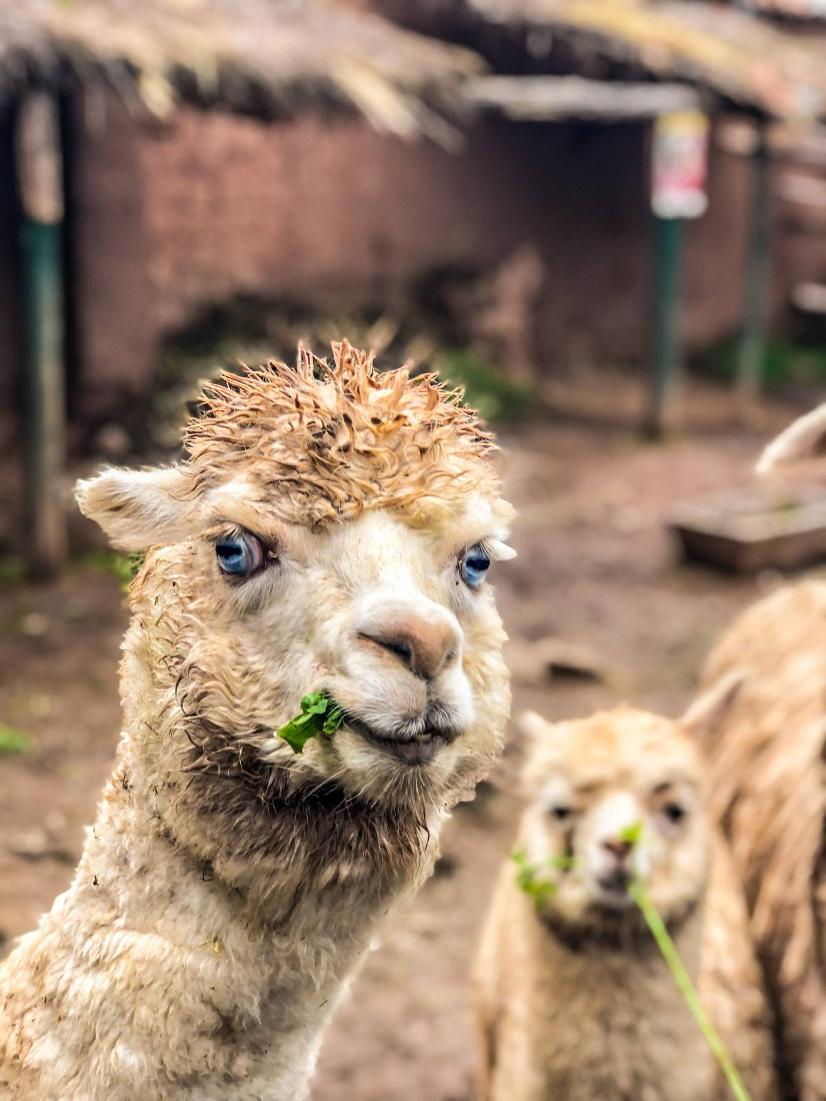 Alpaca South America winning a tour