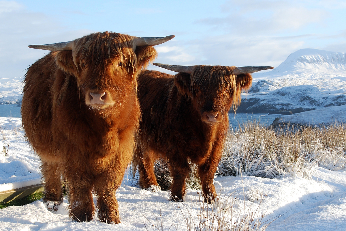Two highland cows in Scotland standing in field of snow