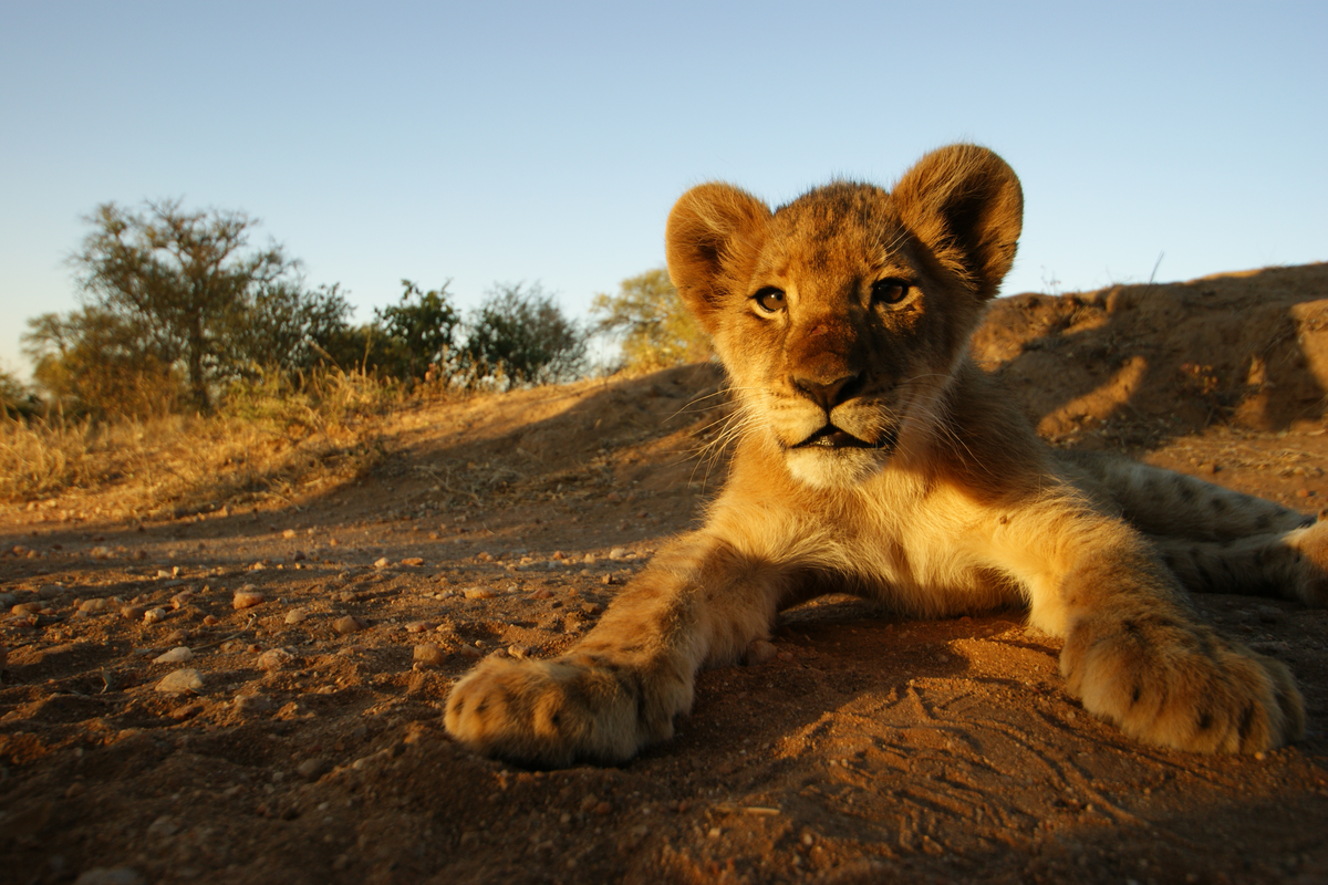 Young lion cub seen on South Africa safari